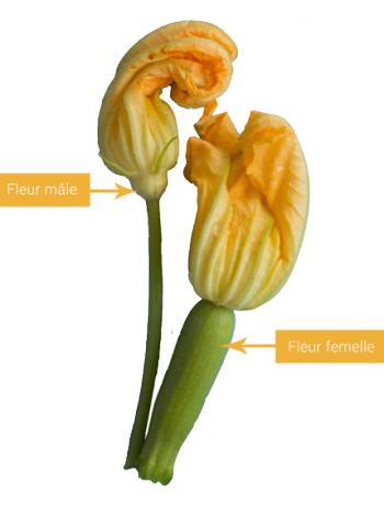 courgette pourrie : fleurs mâle et femmelle