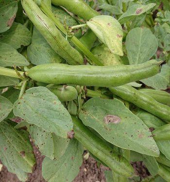 La culture de la fève en permaculture - fève