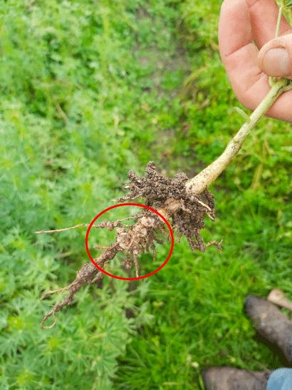 La culture de la fève en permaculture - nodosités