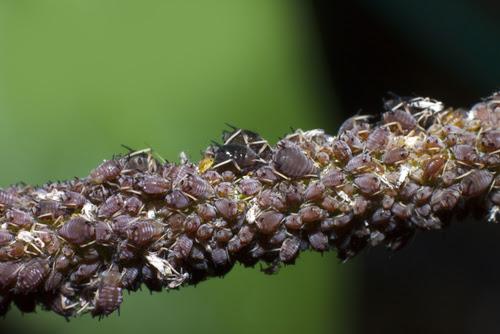 La culture de la fève en permaculture - pucerons