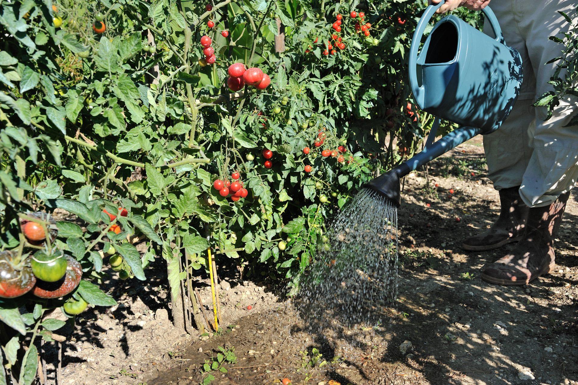 tomate au potager